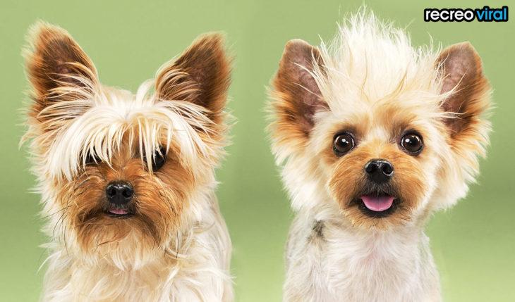 antes y después corte de pelo perro pequeño loco