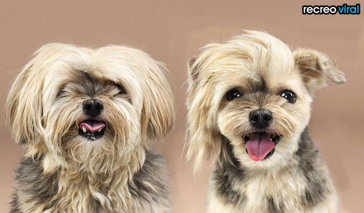 antes y después corte de cabello perro café con negro