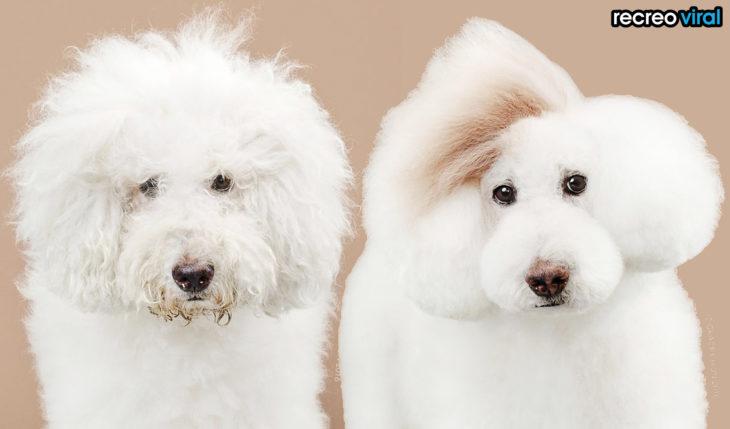 antes y después corte de cabello perra con pelo chino