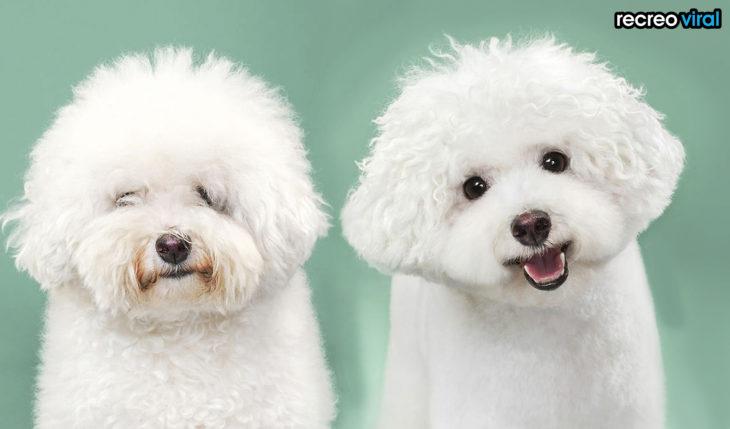 antes y después corte de cabello perro esponjoso blanco