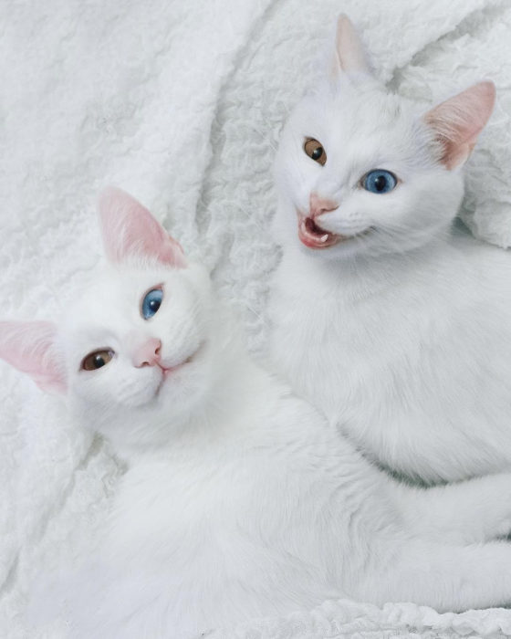 gaos blancos