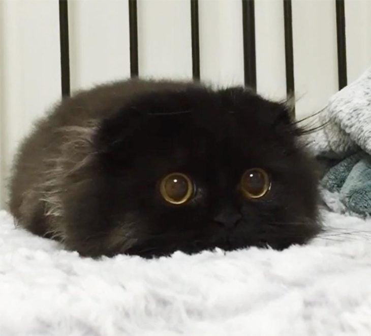 gato negro de ojos grandes