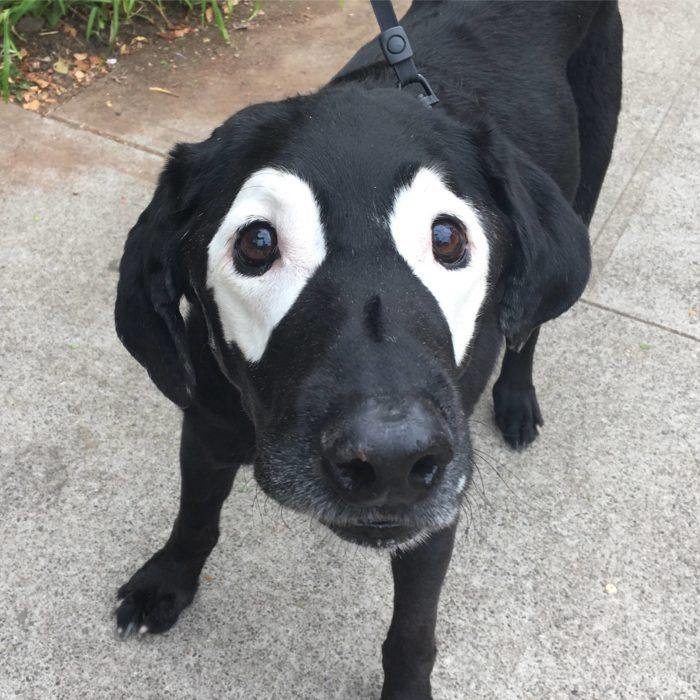 perro labrador con manchas blancas