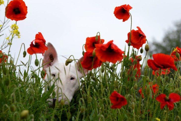 perrita blanca entre flores rojas