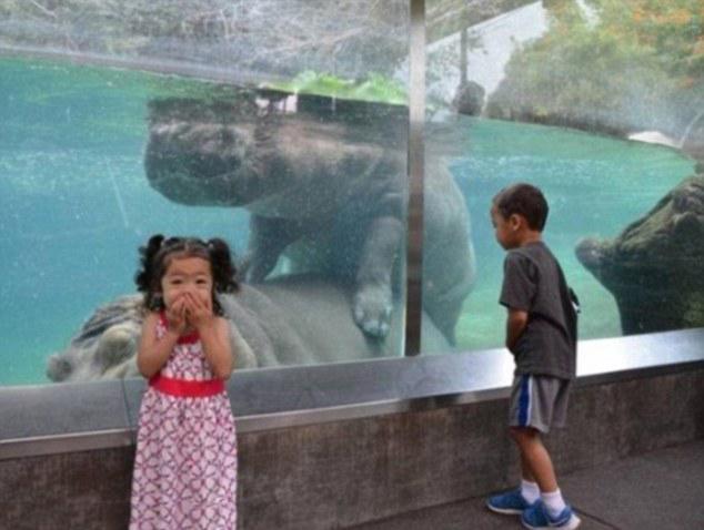 hipopótamos apareándose