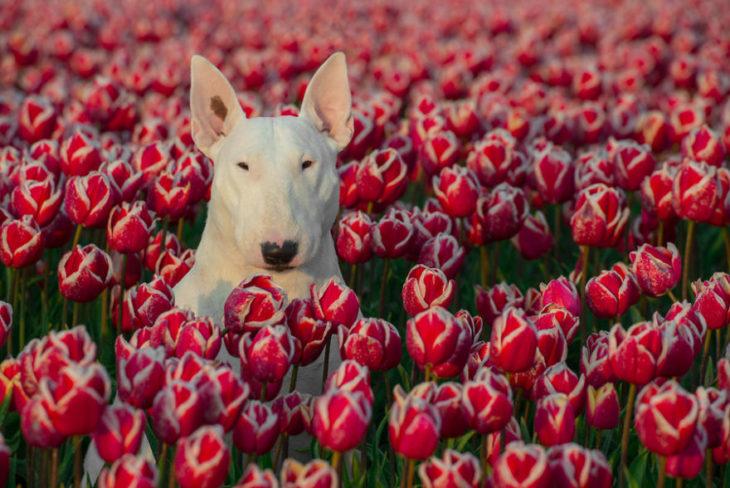 perrita con tulipanes rojos