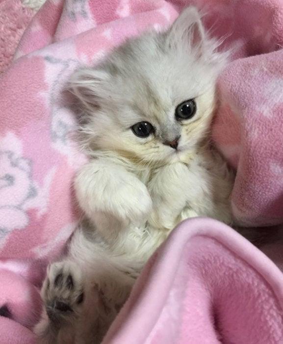 gato en cobertor rosa