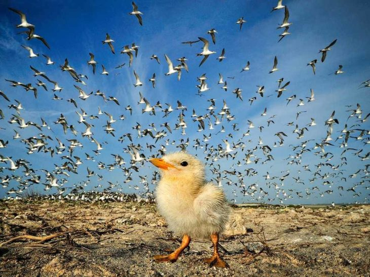 pollito en suelo mientras en el cielo hay cientos de pájaros