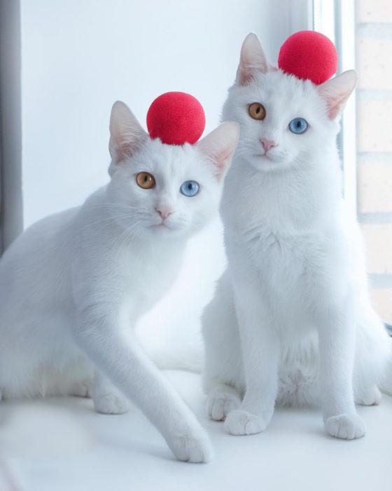 gatas con bola roja en la cabeza