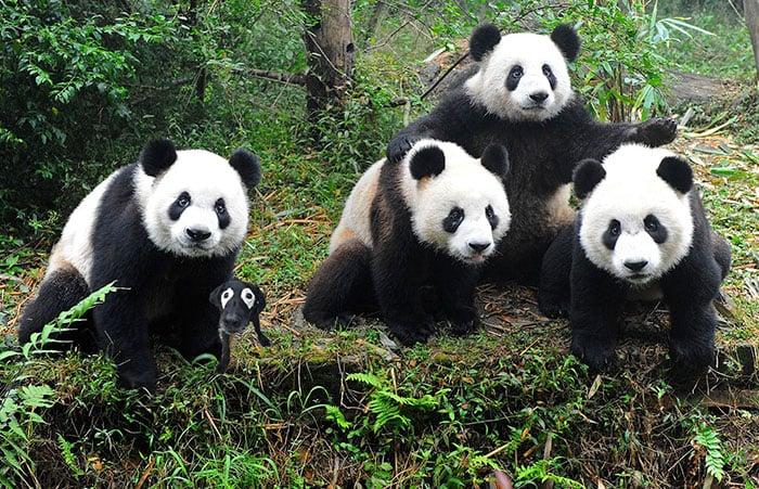 labrador entre pandas