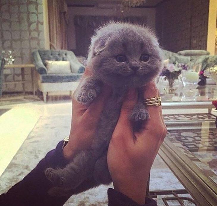 gato gris pequeño