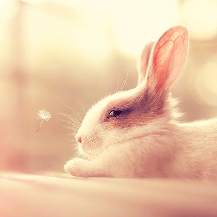 conejo blanco orejas cafes