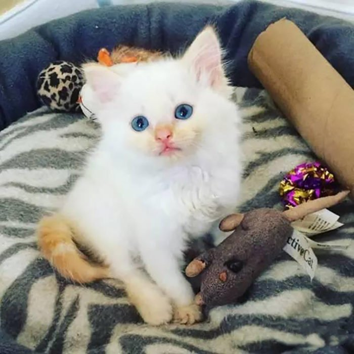 gato blanco con la cola café
