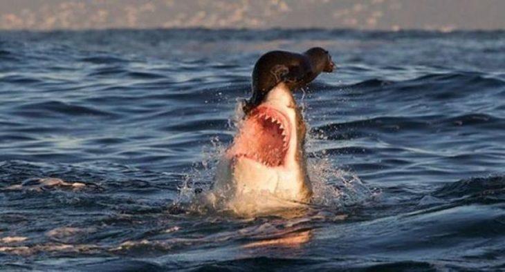 foca en boca de un tiburón