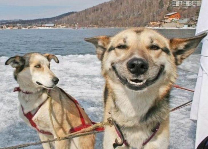 huskies sonriendo