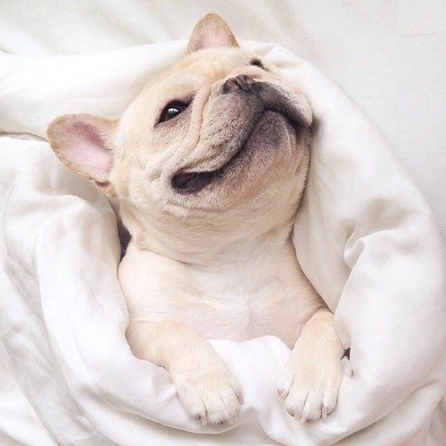 perrito en sabanas blancas sonriendo