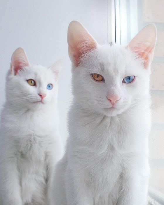 gatos con heterocromía