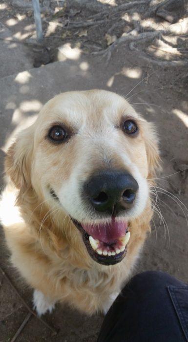 Perra Golden Retriever sonriendo a la cámara