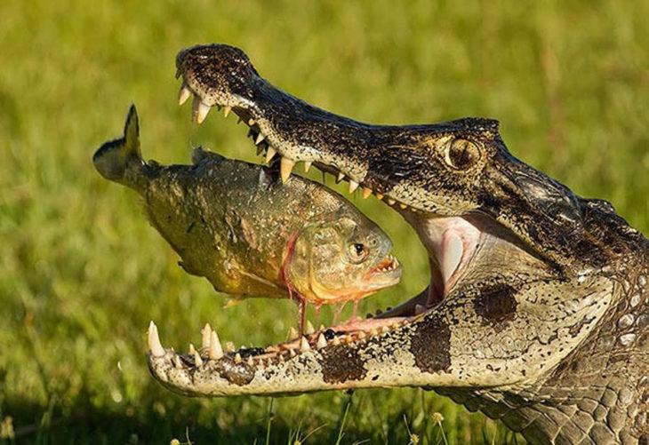 pez cae en boca de cocodrilo