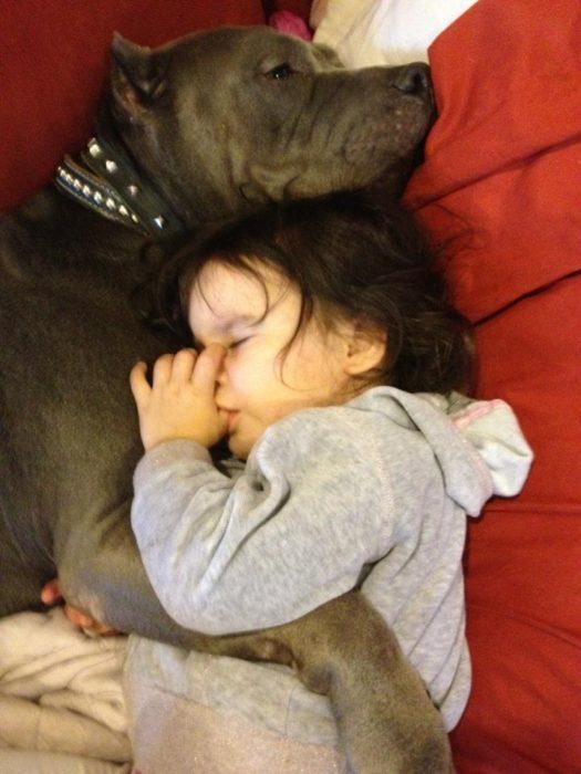 pitbull dormido con niña