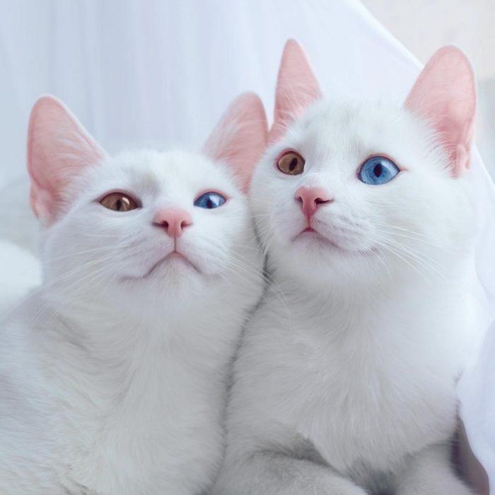 gatos blancos con heterocromía