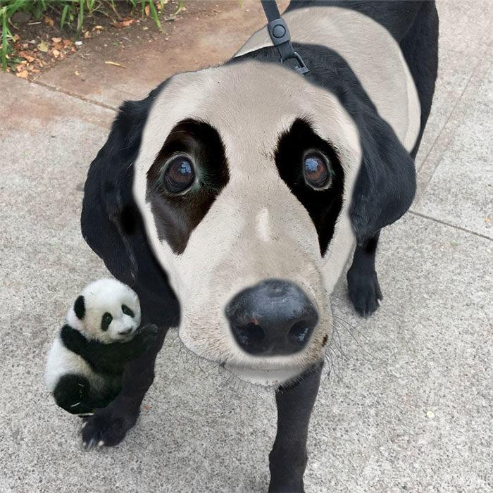 perrito photoshopeado como un panda