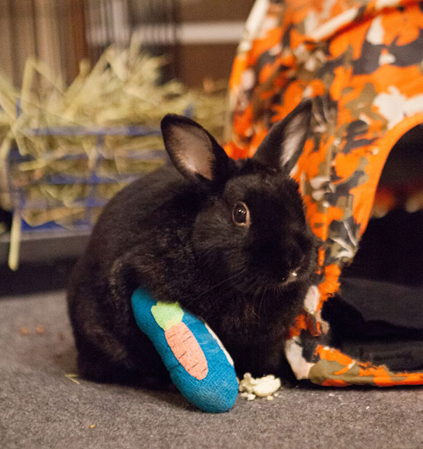 conejo con yeso en la pata