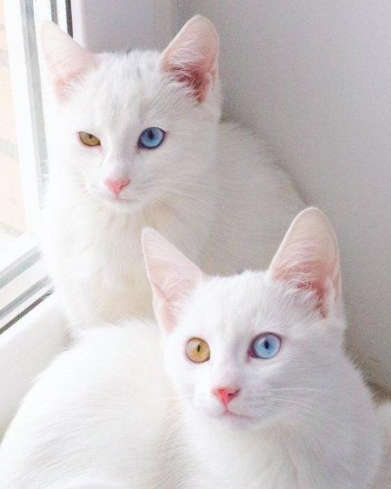 gatos blancos con ojos de diferentes colores