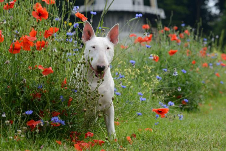 bull terrier entre flores
