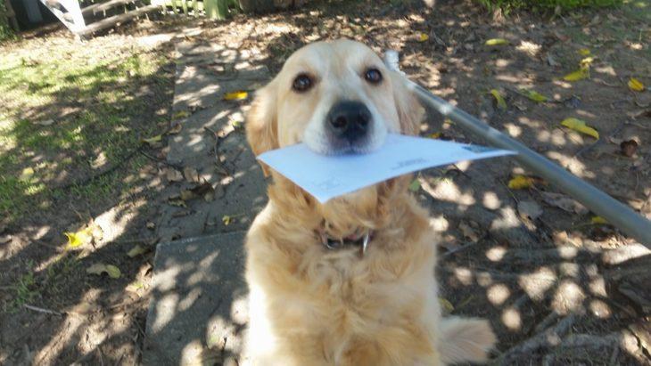 Perra Golden con una carta en su hocico