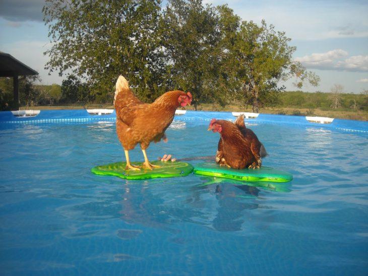 gallinas en la alberca
