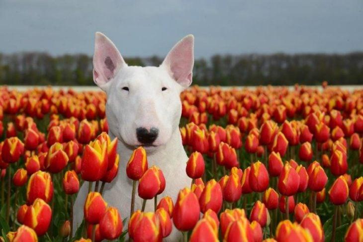 perra blanca entre tulipanes naranjas