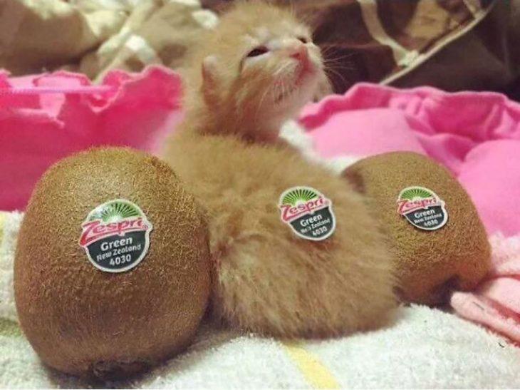 gato pequeño enmedio de dos kiwis