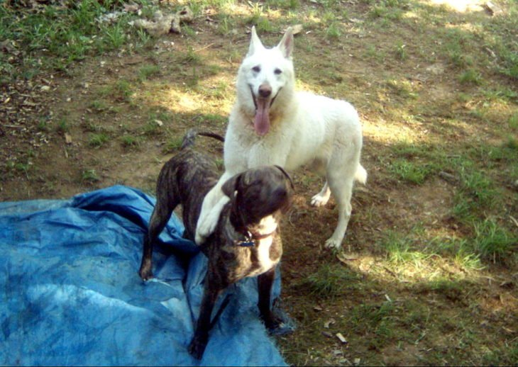 pit bull y perro blanco