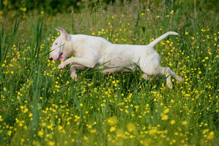 perra blanca corriendo en campo de flores