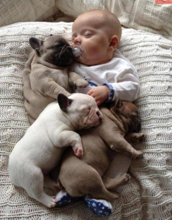 3 cachorros de pug durmiendo con un bebé