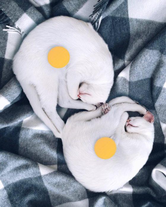 gatas blancas con pelotas amarillas
