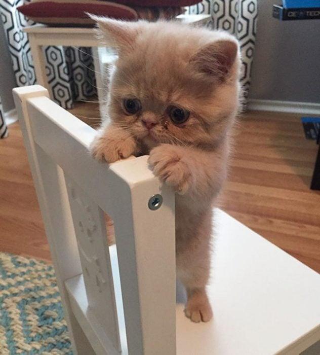 gato que parece caricatura