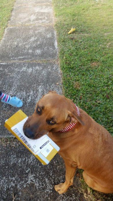 Perro volteando a la cámara mientras sostiene su correo