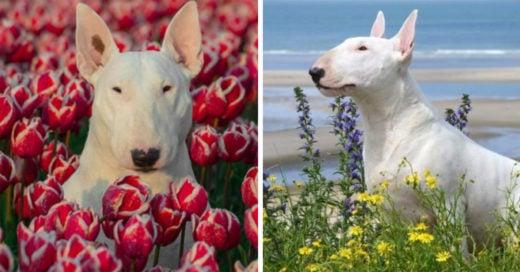 Cover-perrita-Bull-Terrier