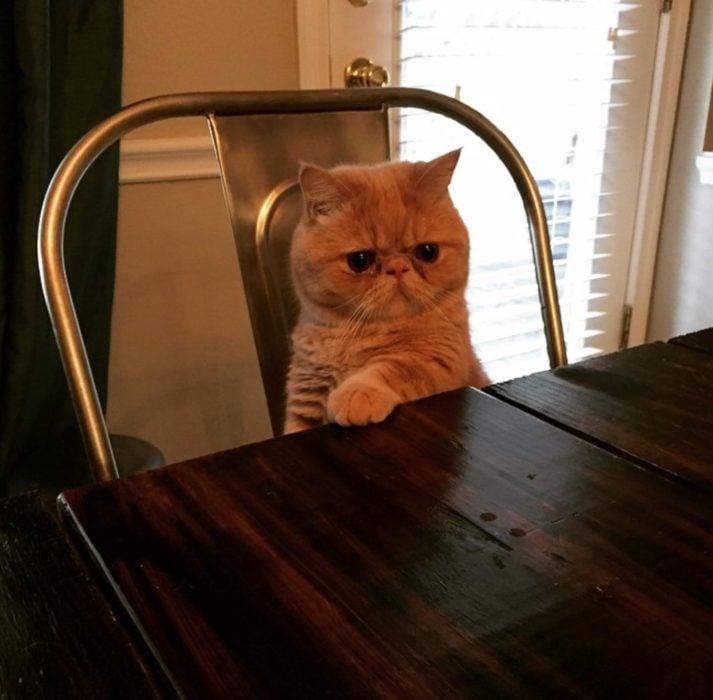 Gato con mirada seria sentado en una silla y con una pata sobre la mesa