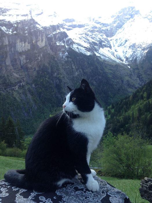 Gato negro con manchas blancas en las montañas de suiza