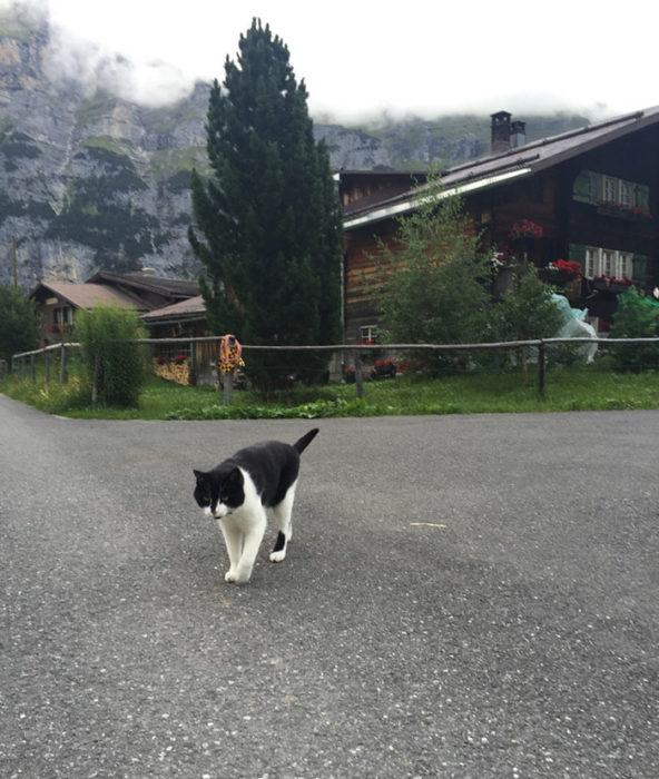 Gato blanco con negro en suiza