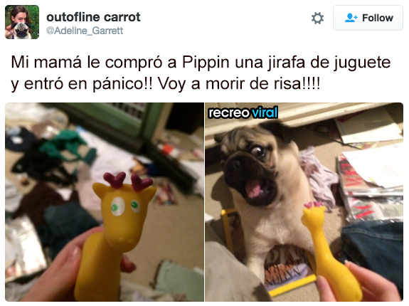 Pippin con jirafa de juguete asustado