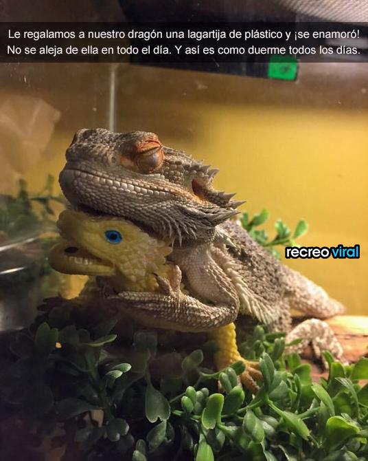 Dragon abrazado a una lagartija de plastico