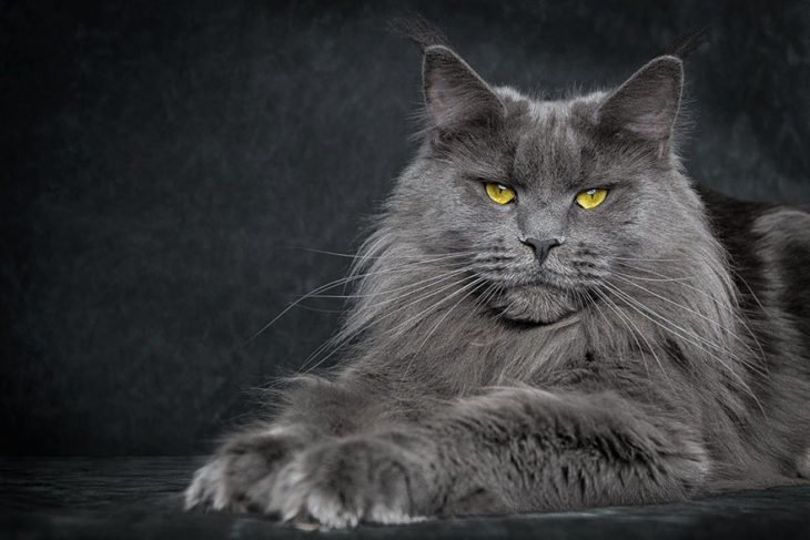 maine coon gris con ojos amarillos
