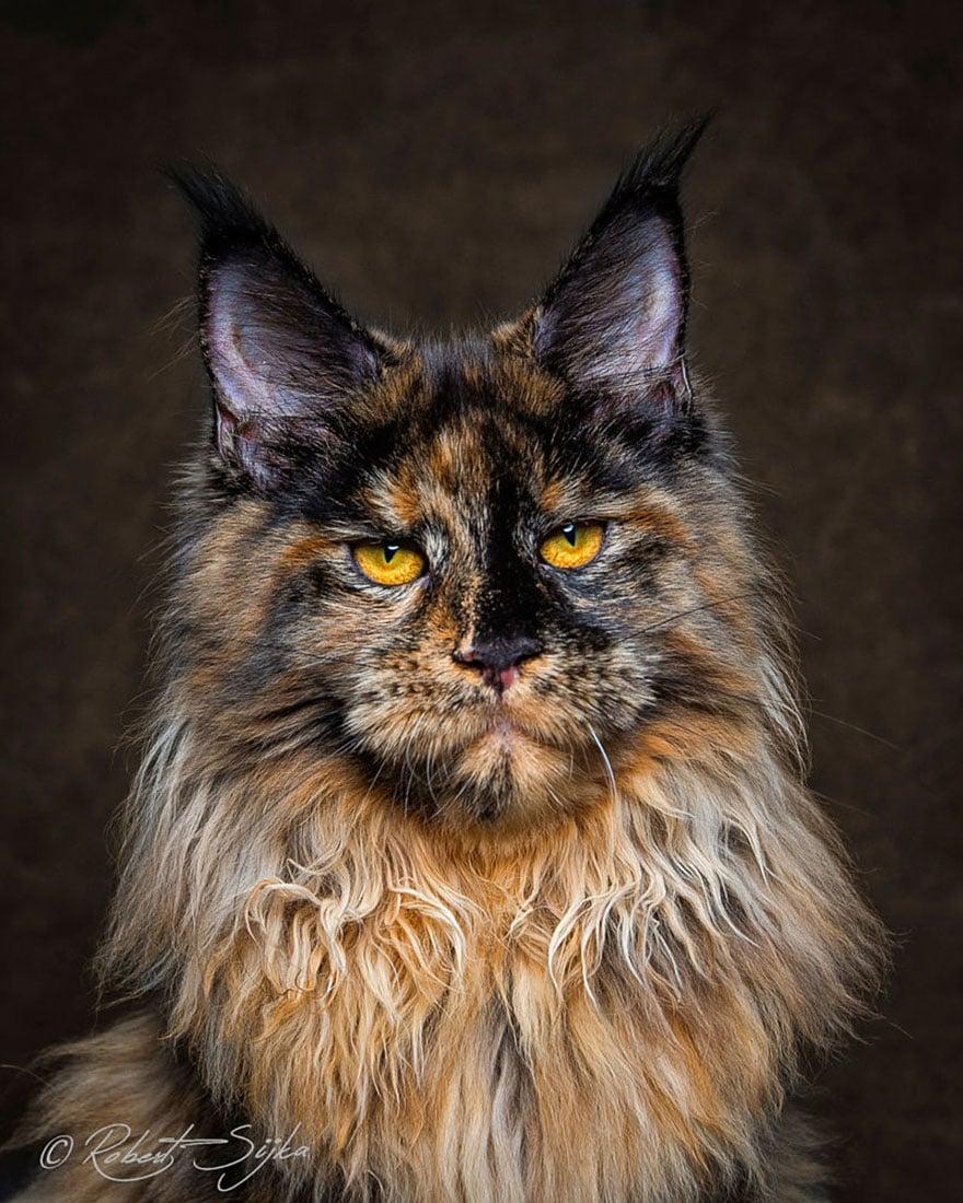 Los Maine Coon, los gatos más majestuosos que verás este día