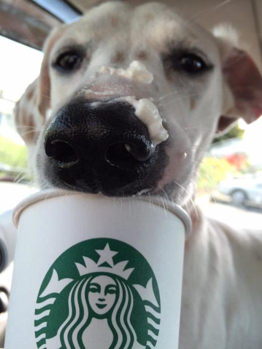Perro todo lleno de crema por tomarse su puppuccino