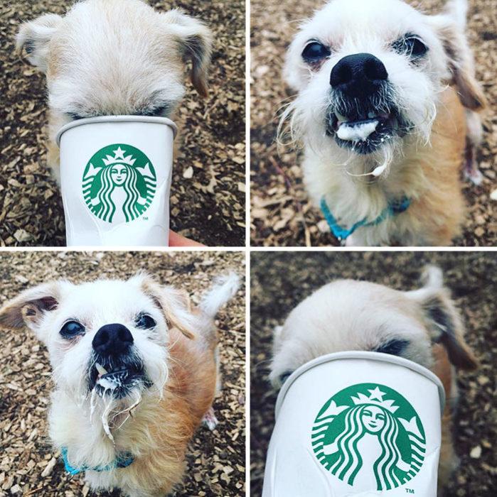 Perro chiquito disfrutando un puppuccino de starbucks