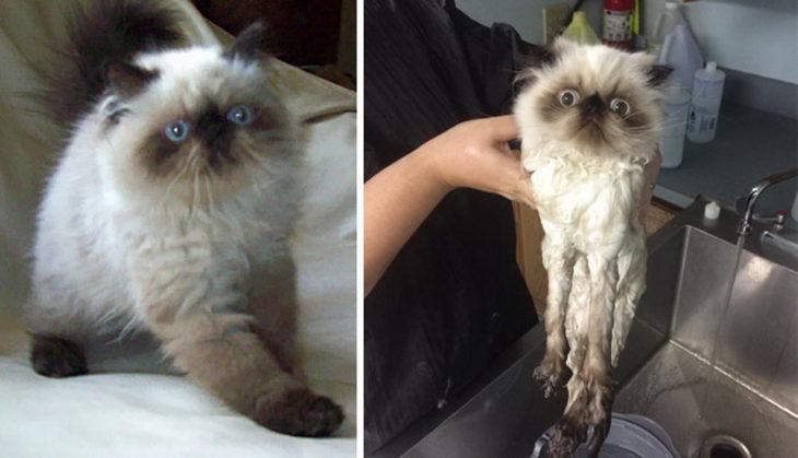 Gatito esponjoso antes del baño y gatito flaquito durante su baño